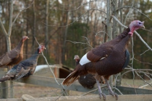 cane-creek-farms-turkey