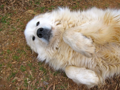 DOGSZeus is our great pyrenees. He and Willow and Ajax protect the farm from Coyotes.