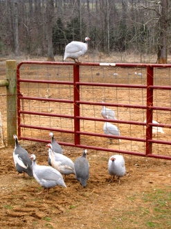GUINEAFOWLThe guineafowl are always getting into trouble. And they look and sound funny. We love them. Please note: we do not have any for sale.