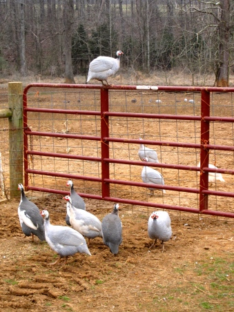 GUINEAFOWLThe guineafowl are always getting into trouble. And they look and sound funny. We love them.