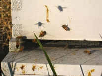 BEESWe have bees for sweetness.