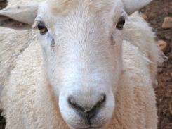SHEEPThis is Blanche. She is the boss of the sheep herd.