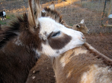DONKEYSWe have 4 loving miniature donkeys that protect the herd