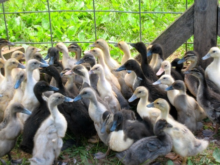 DUCKSIndian Runners, Swedish crosses, Welsh Harlequinns, Mallards, and Muscovys live with us on the farm.