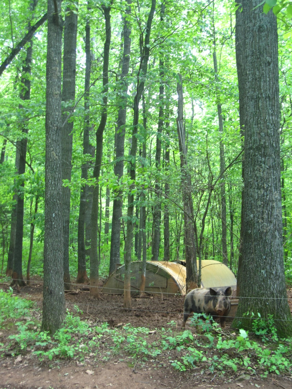 PIGSOur pigs love the woods.