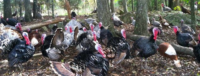 turkeys!