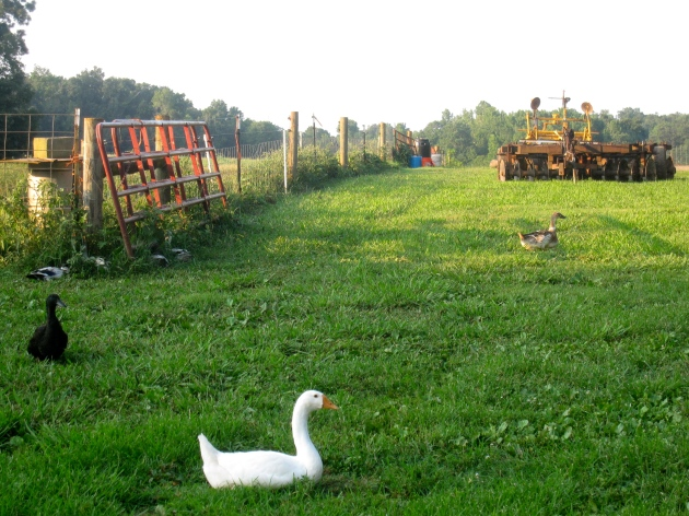 GEESEOur geese are noisy but take care of the ducks